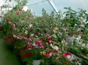 Sera florala