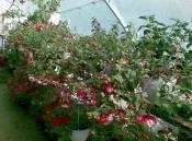 Vanzare flori