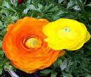 Flori la ghiveci 8 martie