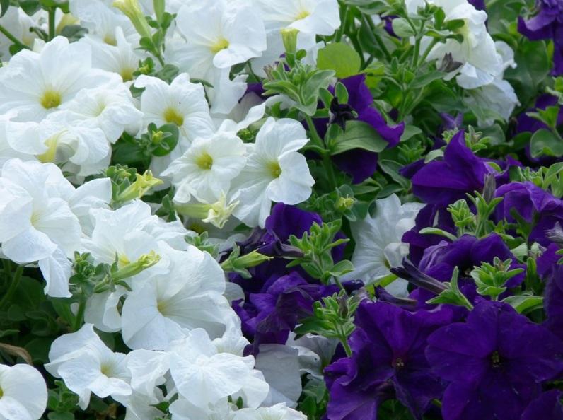 Plante anuale