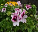 Flori la ghiveci primavara-vara