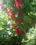Coacaze rosii