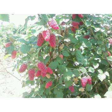 Arbusti fructiferi Tayberry
