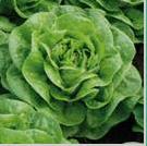Seminte de salata