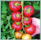 Seminte tomate