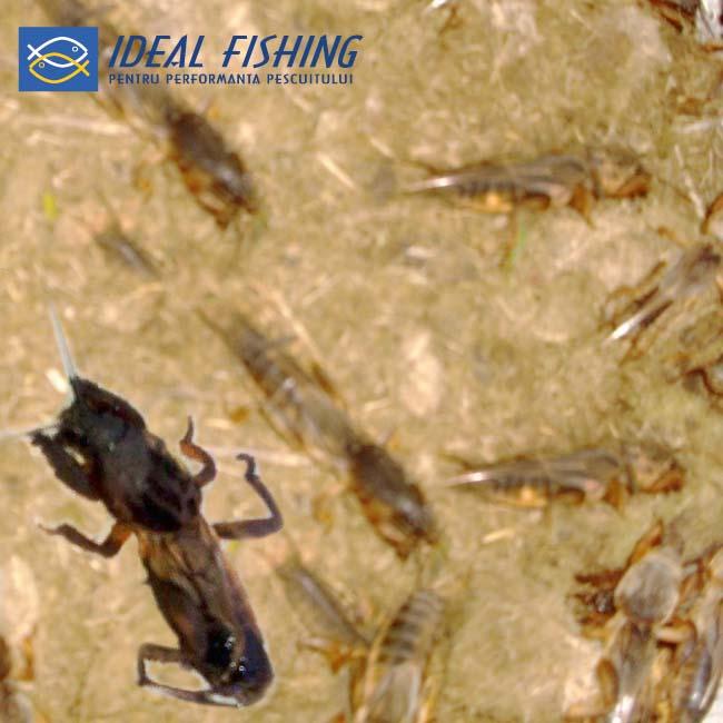 Momeala vie pescuit