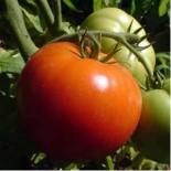 Seminte profesionale de legume