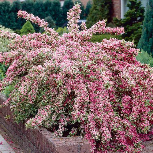 arbusti ornamentali arbusti ornamentali