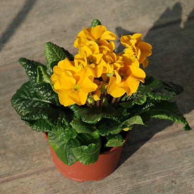 Plante decorative