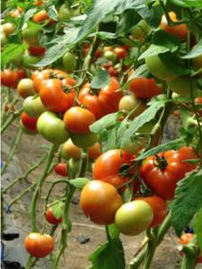 Seminte tomate Axiom