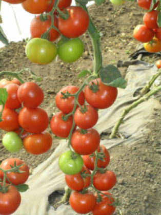 Seminte tomate Danubiana