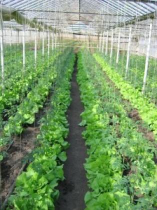 Seminte salata Limax
