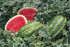 Seminte fructe