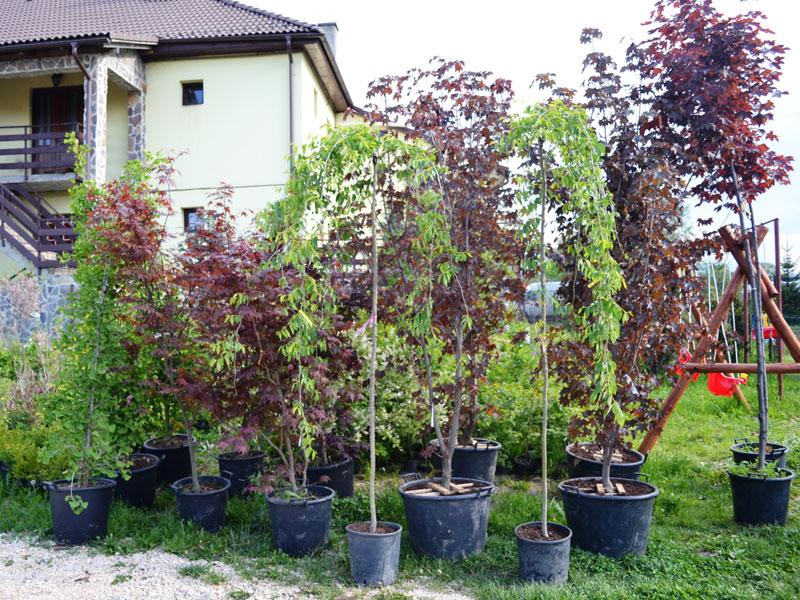 Arbusti ornamentali de gradina arbusti ornamentali de for Arbusti ornamentali