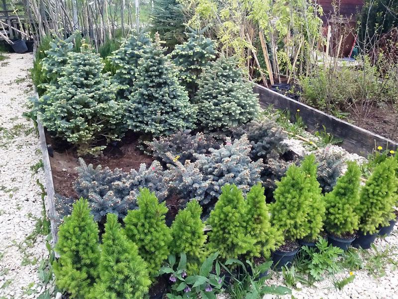 Conifere gradina