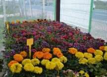 Plante perene gradina