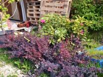 Plante ornamentale gradina