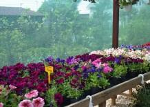 Plante anuale gradina