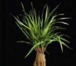 Seminte plante furajere graminee perene