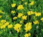 Seminte plante furajere  leguminoase anuale si perene