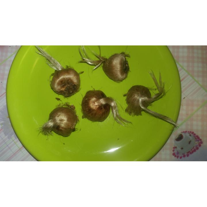 Bulbi Crocus Sativus cu circumferinta intre 9 si 10 cm