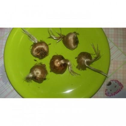Bulbi Crocus Sativus cu circumferinta intre 7 si 8 cm
