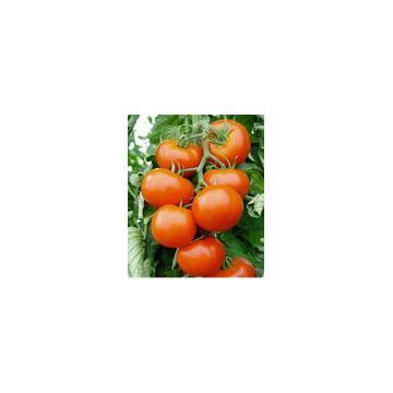 Rasaduri tomate / rosii