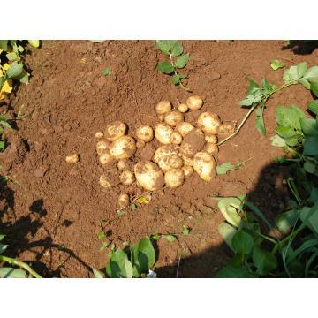 Cartof samanta Minerva, Flavia, Laperla de la Solana