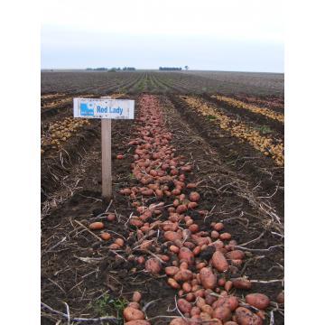 Samanta cartof de la Solana - Red Lady, Labella