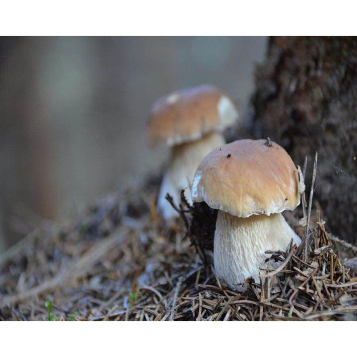 Ciuperci de padure