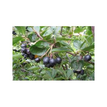 Plante Aronia negre
