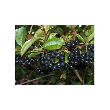 Puieti de arbusti fructiferi