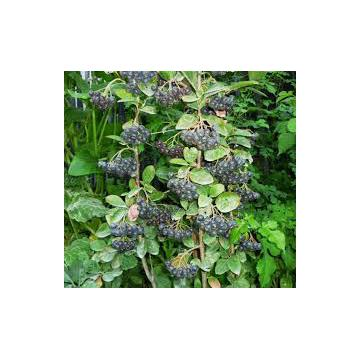 Planta Aronia, Scorus negru