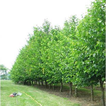 Pomi fructiferi alun Coriylus Colurna