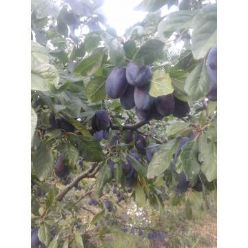 Puieti de pruni