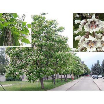 Arbore ornamental Catalpa Bignonioides