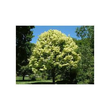 Arbore Acer Platanoides Drummondii sau Artar Arlechin