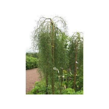 Arbore Caragana Arborescens Pendula (Salcam galben curgator)