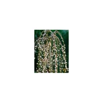 Arbore decorativ Salix Caprea Pendula (Salcie pletoasa)