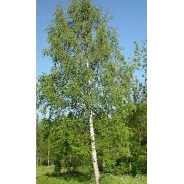 Arbore rustic Betula Pendula (Mesteacan)