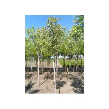 Arbore Tilia Platyphilos (Tei)