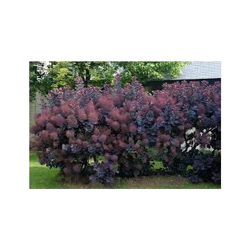 Arbust Cotinus coggigria Royal Purple