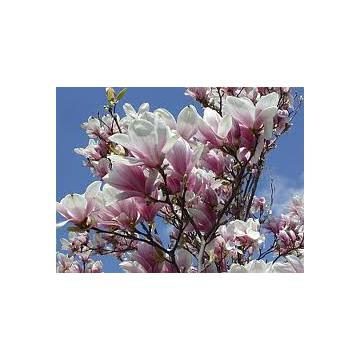 Arbust decorativ Magnolia Susan