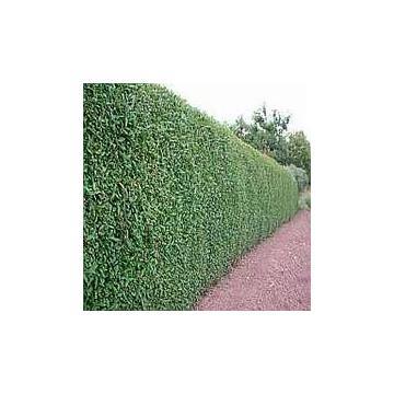 Arbust Ligustrum Ovalifolium (Lemn cainesc)