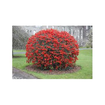 Arbust ornamental gutui japonez Chaenomeles japonica