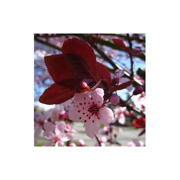 Arbust Prunus cerasifera Nigra
