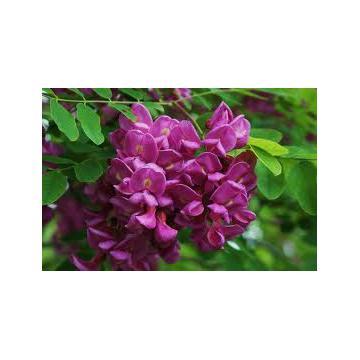 Arbust Robinia pseudoacacia Hispida