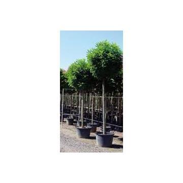Arbust Robinia Pseudoacacia Umbraculifera