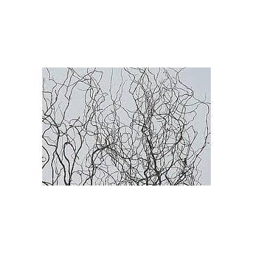 Arbust Salix Matsudana Tortuosa