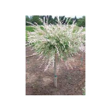 Salcie japoneza Salix integra hakuro-nishiki